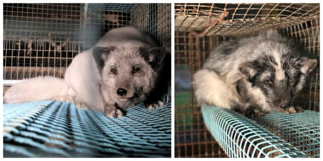 Fur farm exposé reveals animals 'experiencing slow, agonizing deaths' and carcasses being sold for human consumption