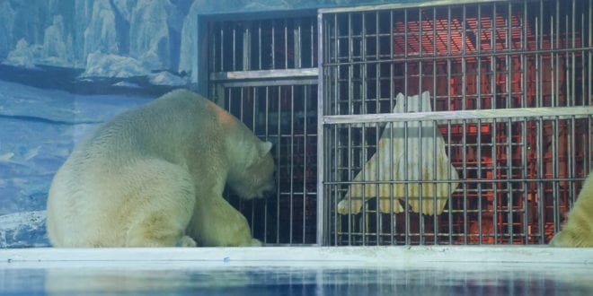 World's first-ever polar bear hotel slammed for 'profiting from misery' of animals