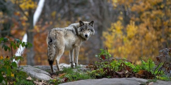 New Idaho law to allow killing 90% of state's wolves